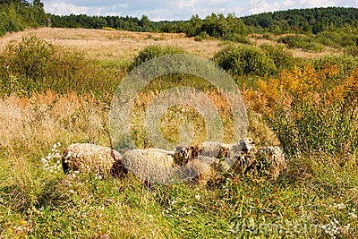 Herd of sheep on the meadow