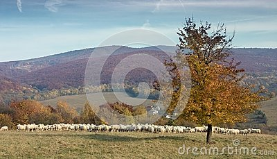 Herd of sheep on sunny mountain meadow