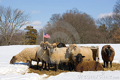 Herd of sheep in winter