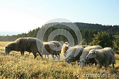 Herd of sheeps – Skudde