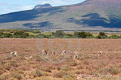 Herd of Springbok on a plain