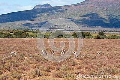 Herd of Springbok on a plain