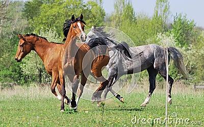 Herd of three arabian horses playing on pasture