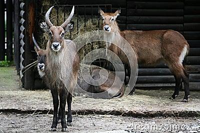 Herd of Water-buck