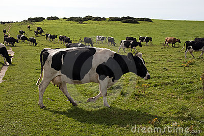 Herd of Welsh cows grazing
