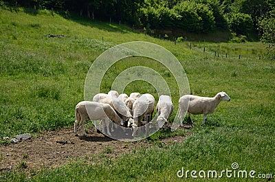 Herd Of White Sheep Stock Photo - Image: 56355172