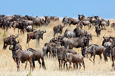 A herd of wildebeest migrate on the savannah