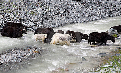 Herd of yaks passes through the mountain river