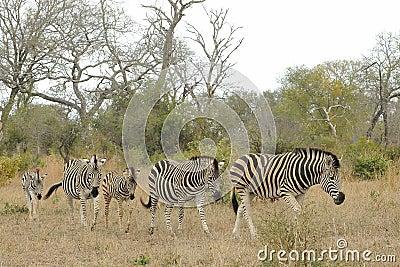 Herd of zebras
