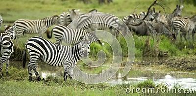 Herd of zebras in the serengeti plain