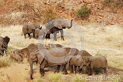 Herde des afrikanischen Elefanten