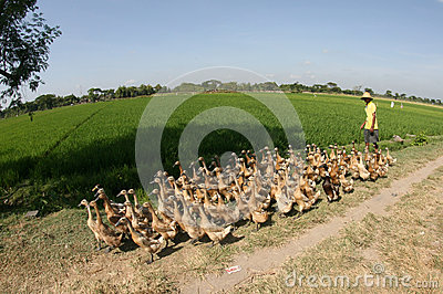 Herding ducks Editorial Stock Image