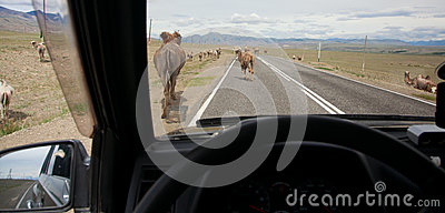 Herds of domestic animals