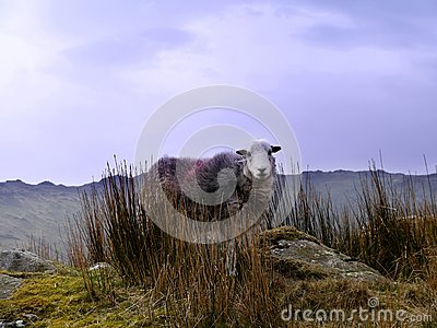 Herdwick sheep on mountain