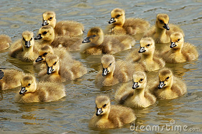 Here Come Goslings!