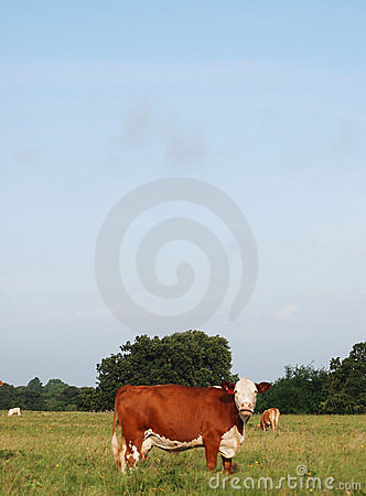 Hereford Cow Staring