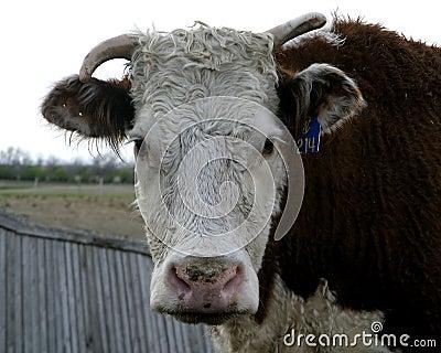 Herford krowy
