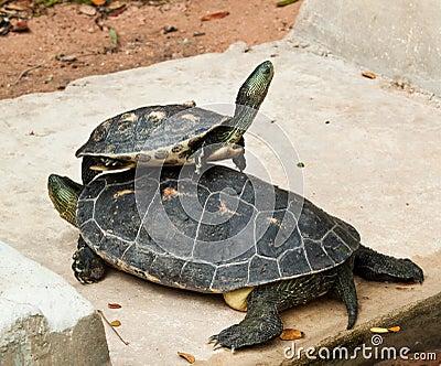 Hermann s tortoise