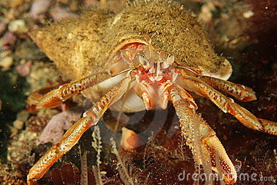 Hermit crab - Bay of Brest, Britanny, France