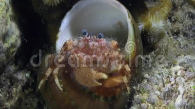 Hermit crab, recently change the shell, it is not fit him yet. stock video footage