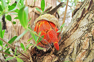 Hermit crab rest on the limb