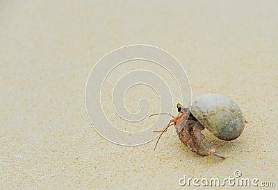 Hermit Crab on sea sunny beaches