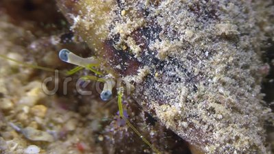 Hermit crab was found in Red sea stock video footage