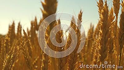 Hermosas orejas de trigo en el campo fluyen del viento Cosecha Años dorados de maíz al sol Grano para hacer almacen de video