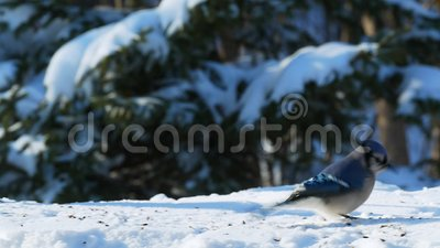 Hermoso pájaro azul en la nieve comiendo semillas en un día soleado - corvidae cyanocitta cristata metrajes