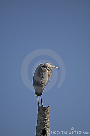 Free Heron Royalty Free Stock Image - 371506