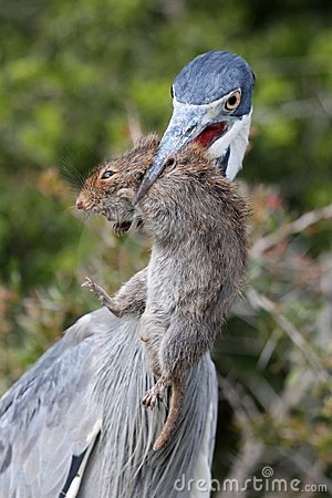 Heron Bird with Rat in Beak