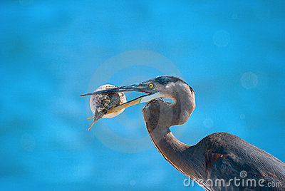 Heron with blowfish in it s beak