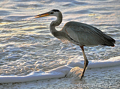 Heron catching fish