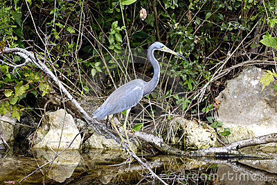 Heron, Everglades, Florida