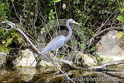 Heron, Everglades, Florida