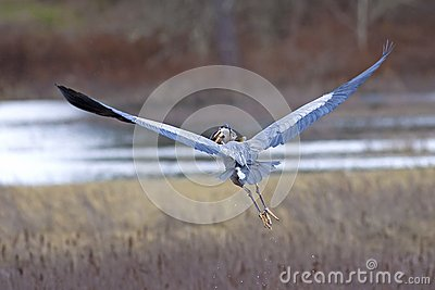 Heron flies with fish in beak.