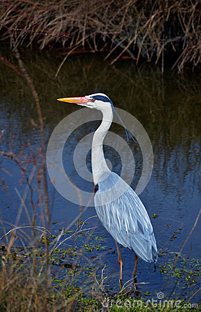 Heron grey in water