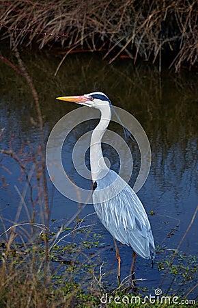 Heron grey in water