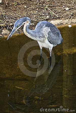Free Heron In Water Stock Photo - 7630220