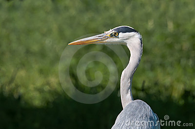 A Heron looking for prey