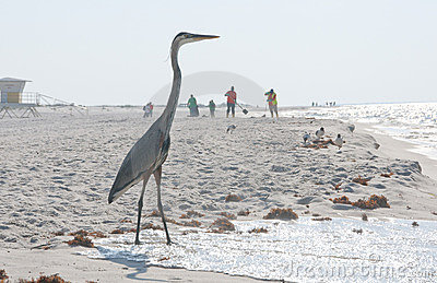 Heron on oil threatened beach Editorial Image