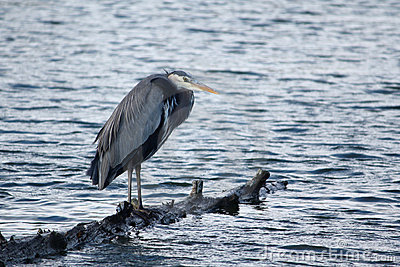Heron Perched on Log