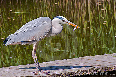 A Heron with prey