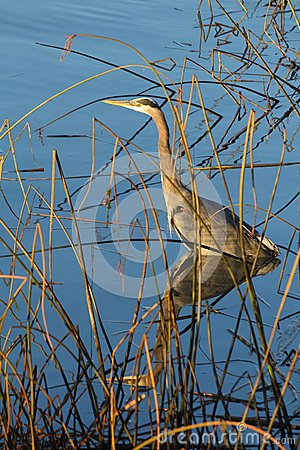 Heron in Shallows at Shoreline
