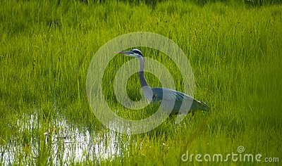 Heron Stalking in the Grass