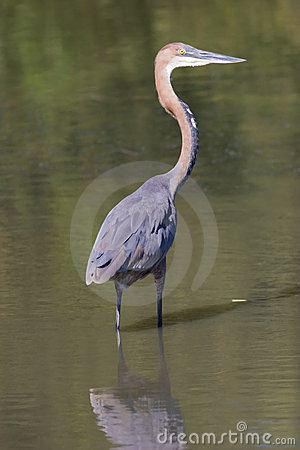 Heron standing in water