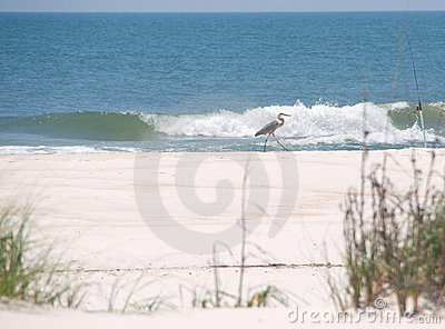 Heron walking on beach