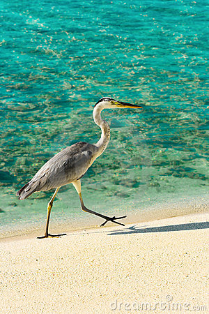 Free Heron Walking On A Beach Royalty Free Stock Photography - 8211307