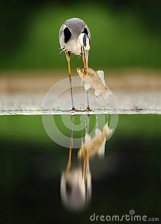 Free Heron With Fish. Bird With Catch. Bird In Water. Grey Heron, Ardea Cinerea, Blurred Grass In Background. Heron In The Forest Lake. Stock Images - 84782984