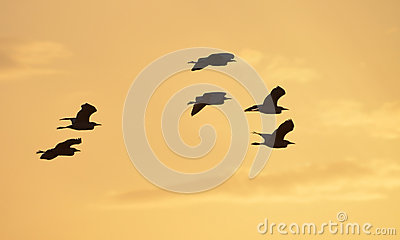 Herons flight at sunset